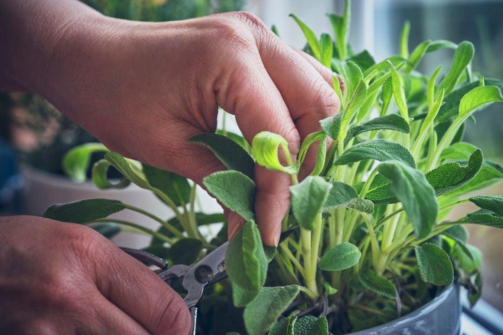 person trimming indoor sage plant
