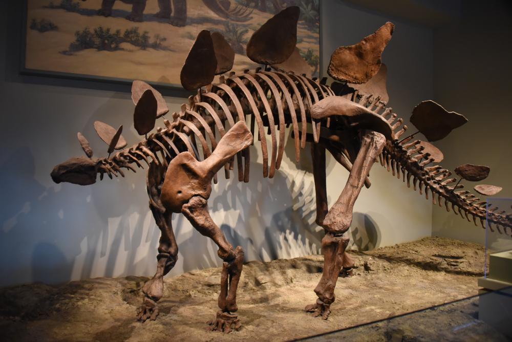Stegosaurus dinosaur fossil skeleton on display at the Field Museum