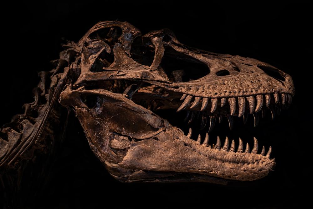 Megalosaurus skull replica in museum