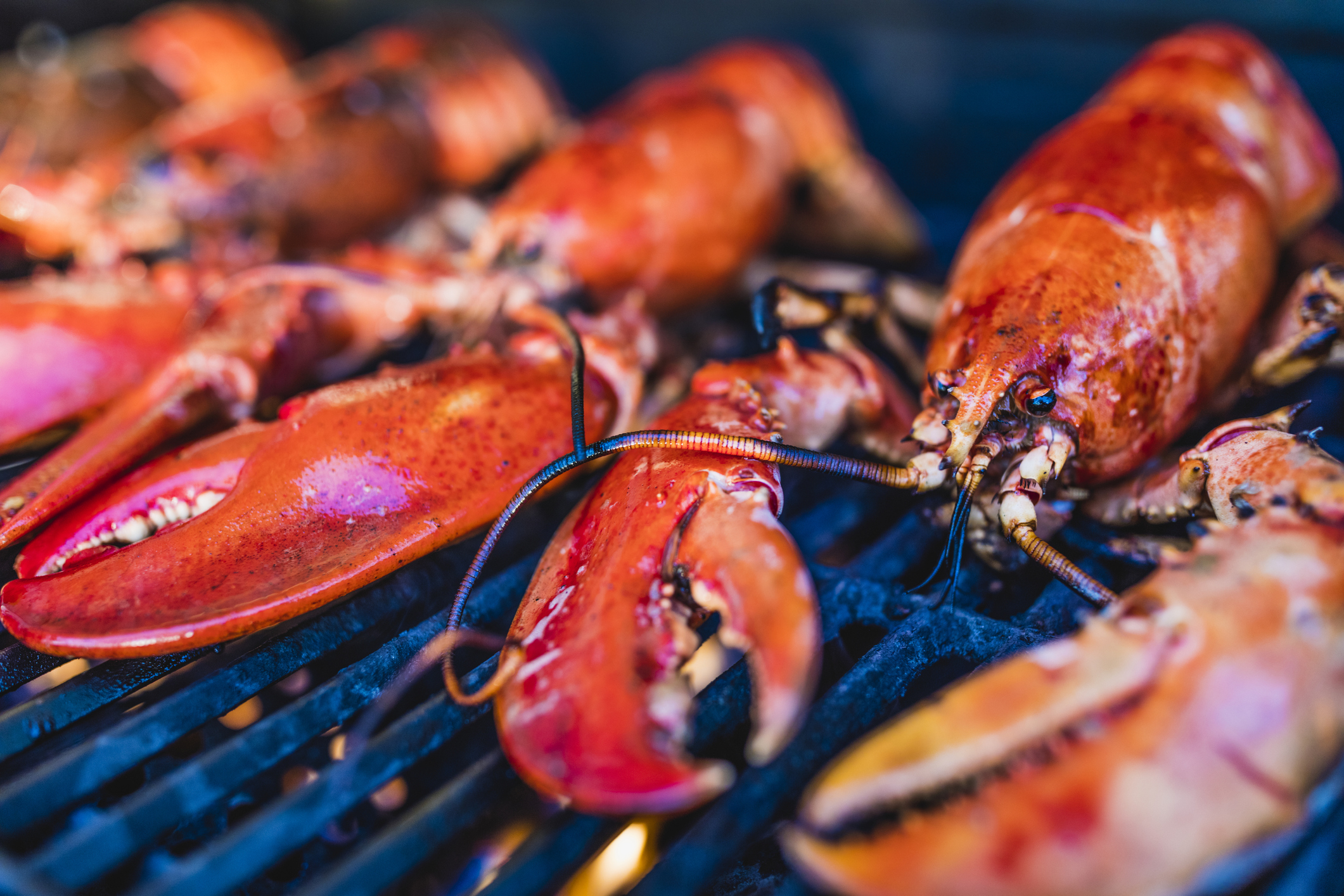 Close-up of Canadian lobsters grilling on the barbecue.