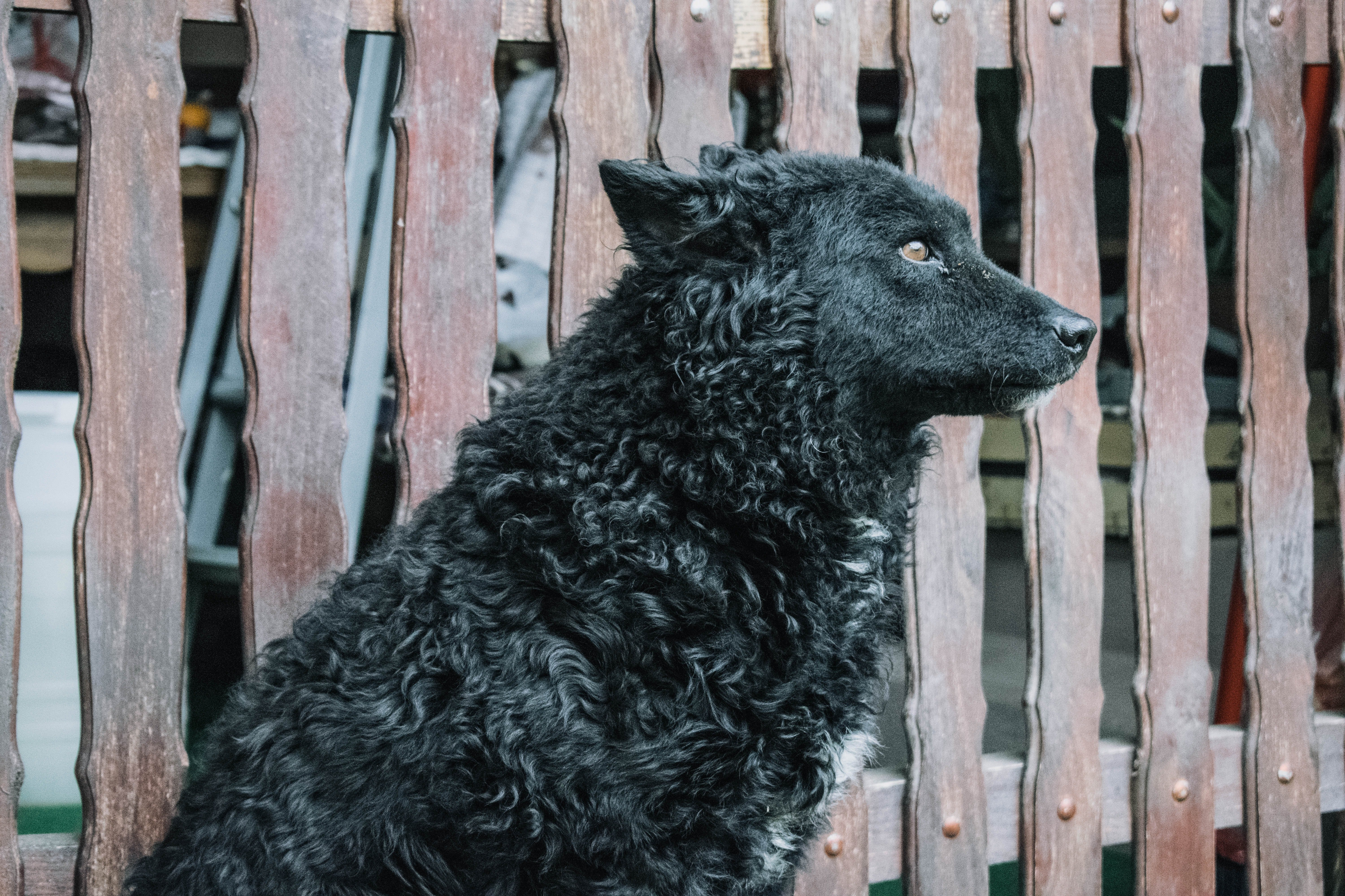 A black, curly-haired dog looks into the distance sadly.