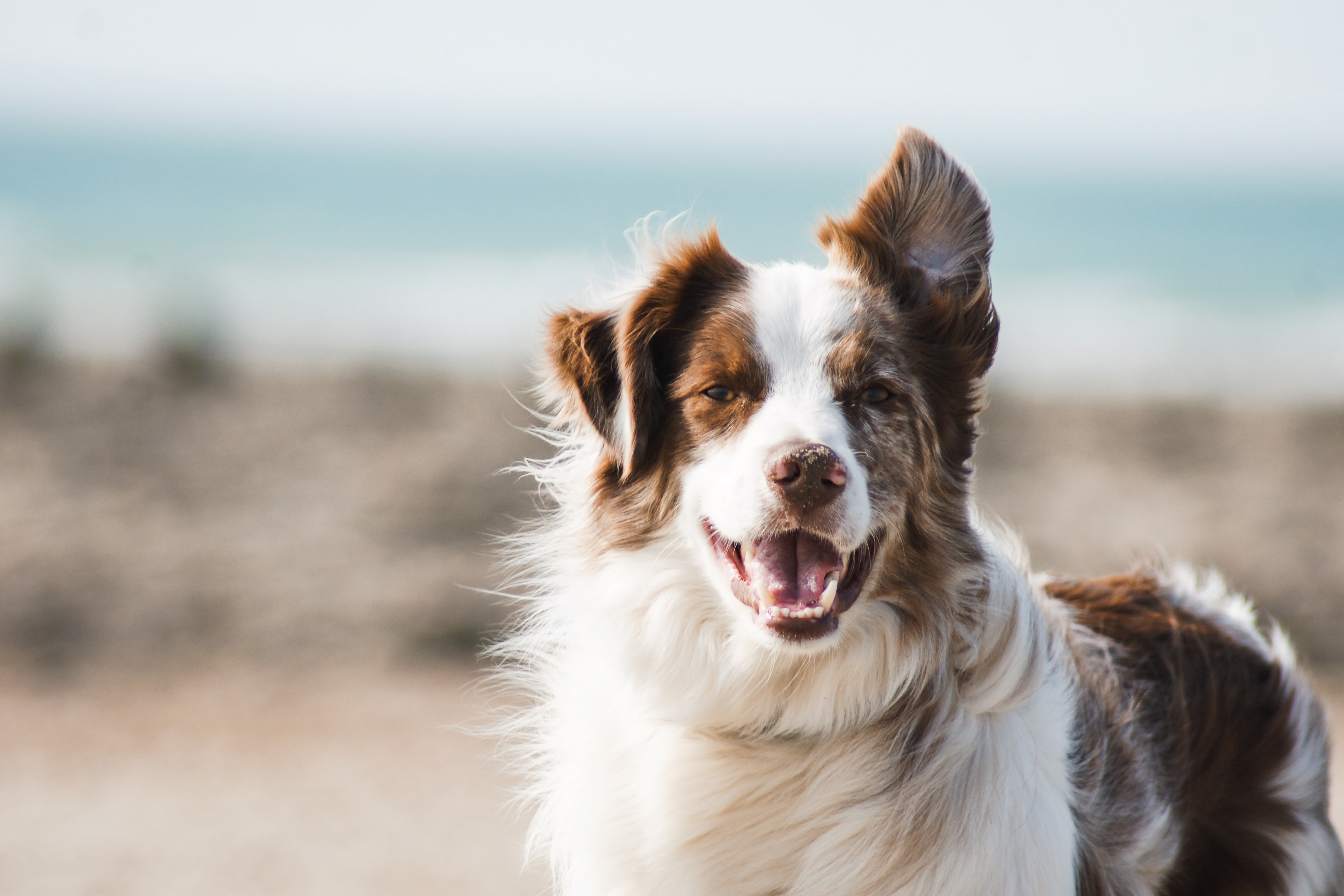 A brown and white collie-type dog looking directly at the camera.