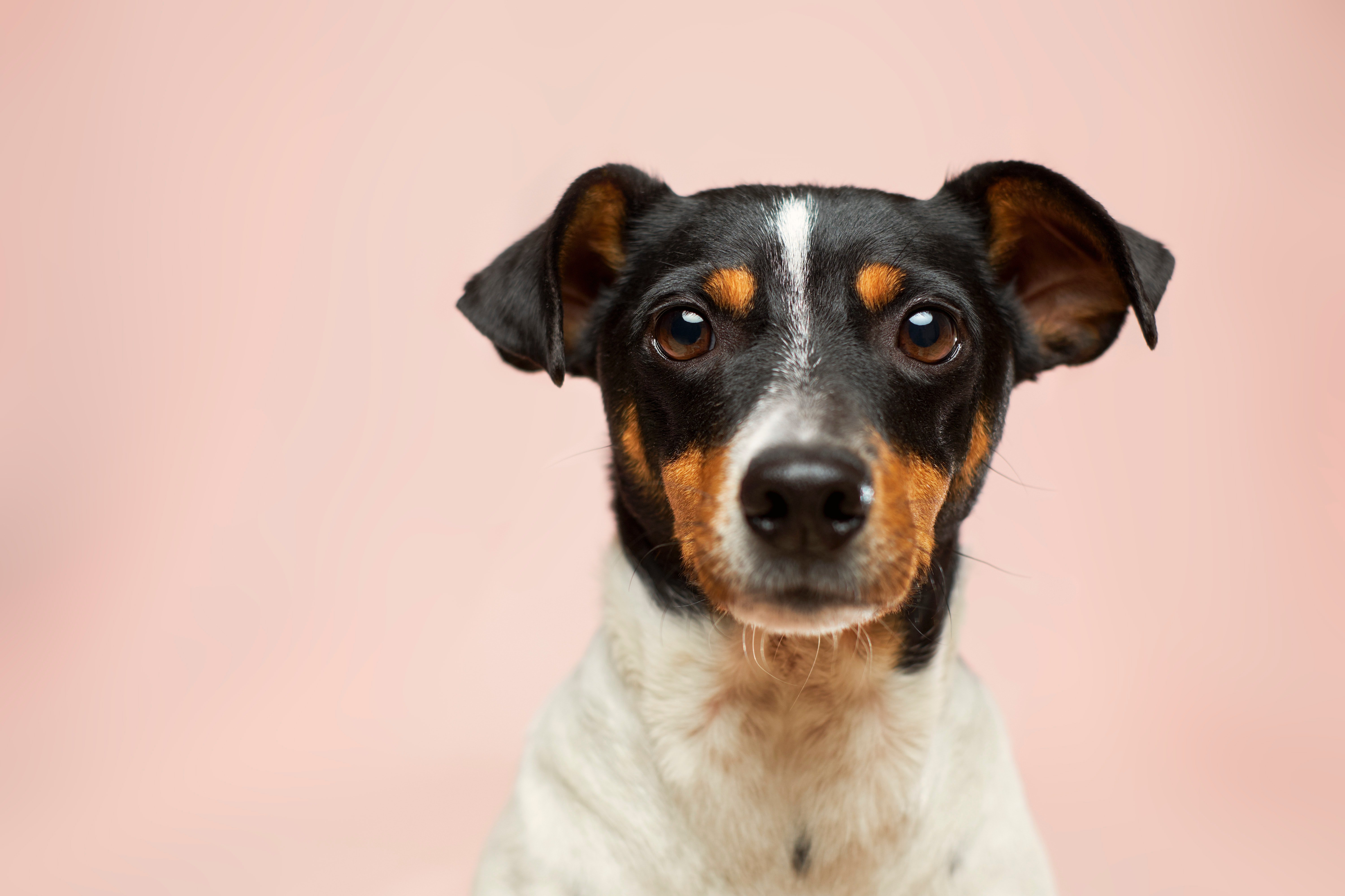 A terrier-type dog looking at the camera with sad eyes.