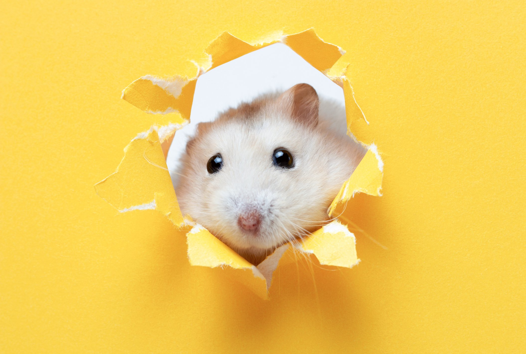 A small fluffy hamster looks through yellow ragged paper, copy of the space