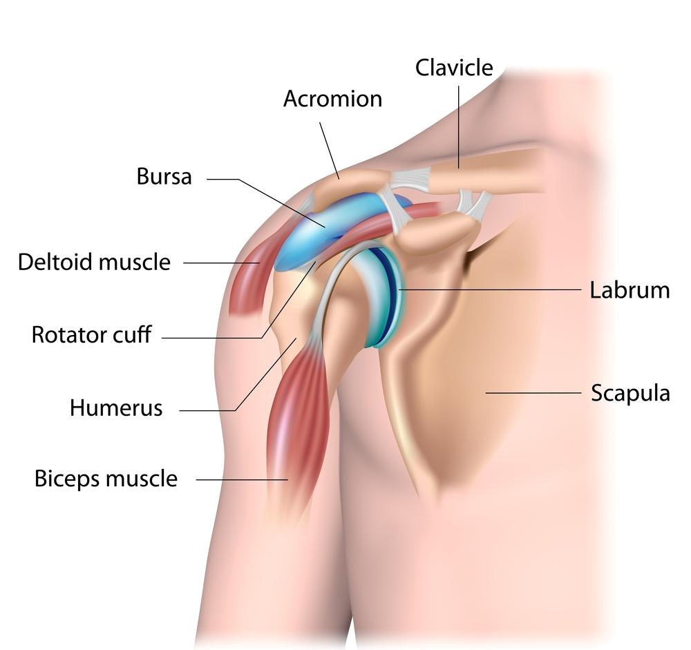 digital illustration of the shoulder joint and labrum