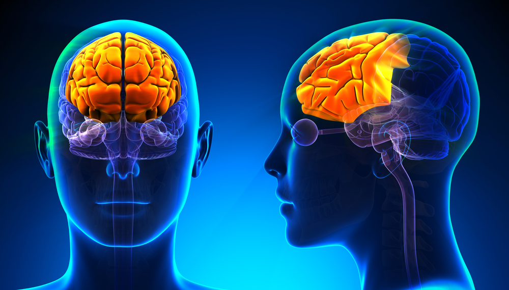digital illustration of the frontal lobe of the brain