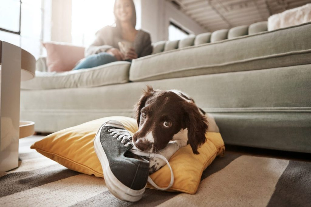 A dog chewing on a shoe