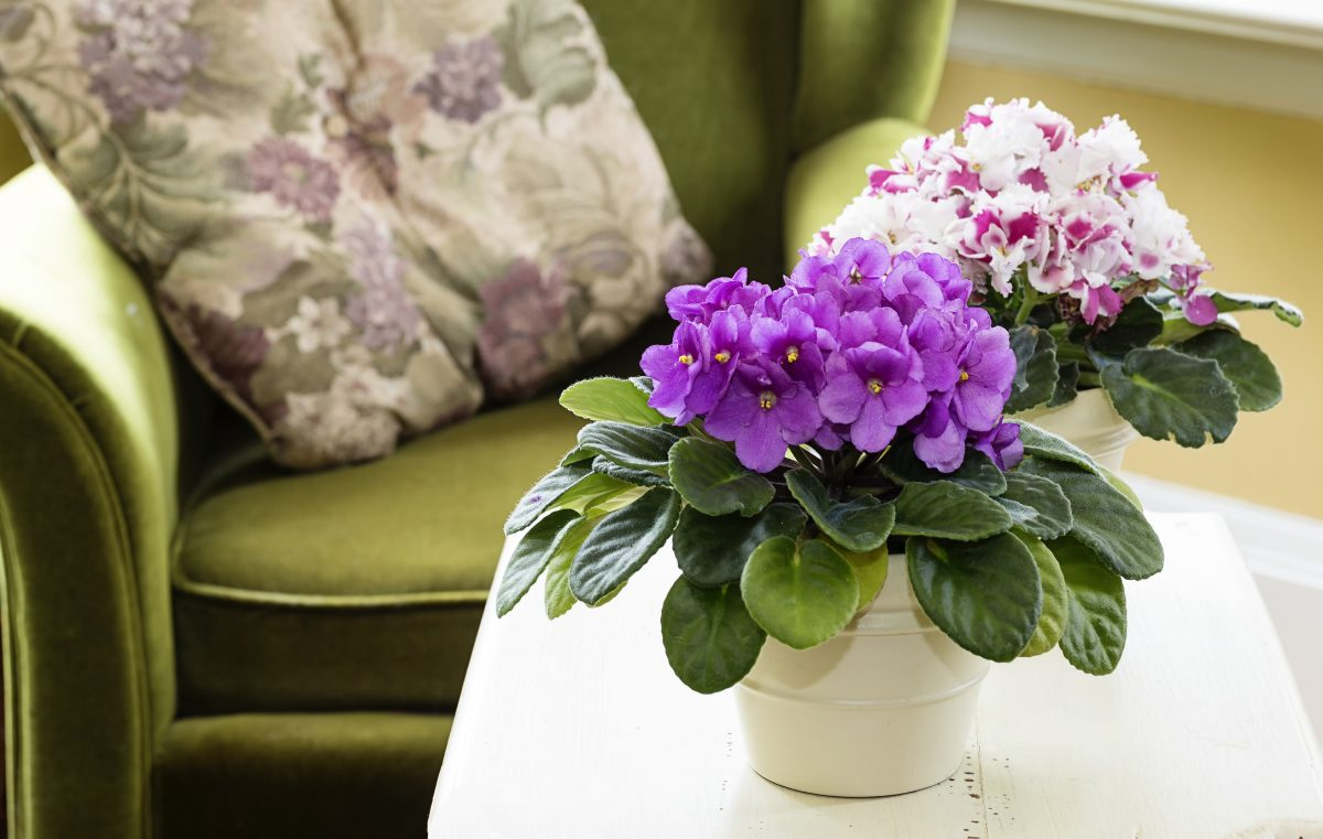 Non-Toxic African Violets