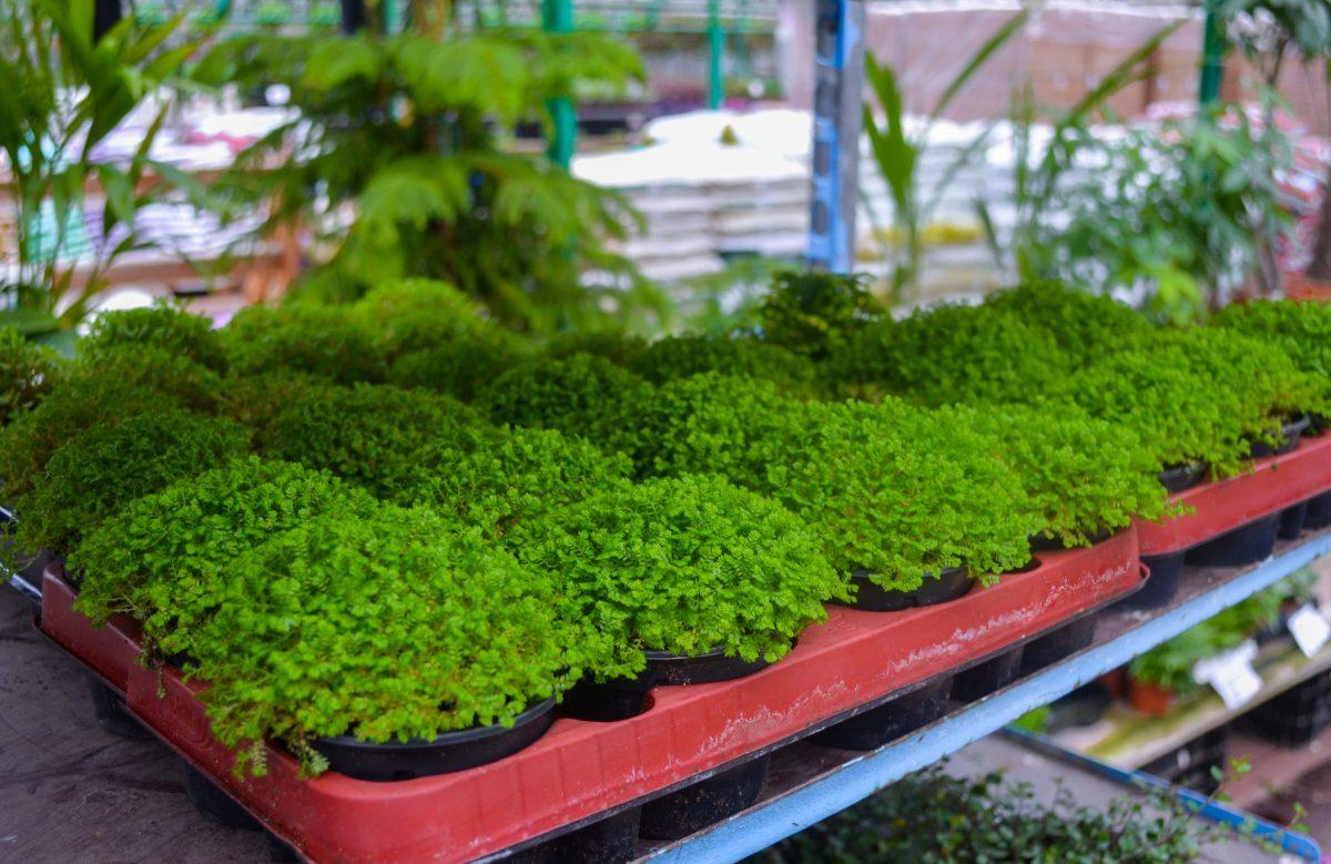 selaginella pots plants