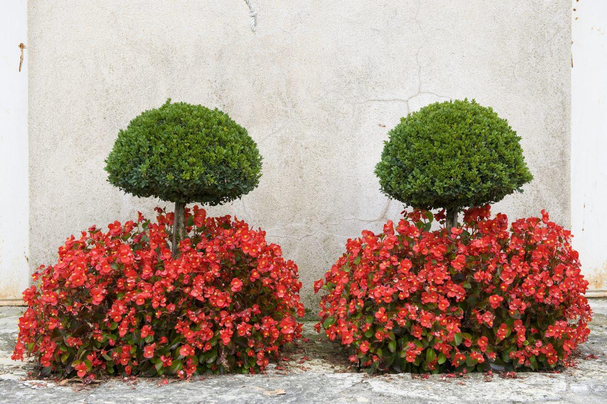 begonia flower plant