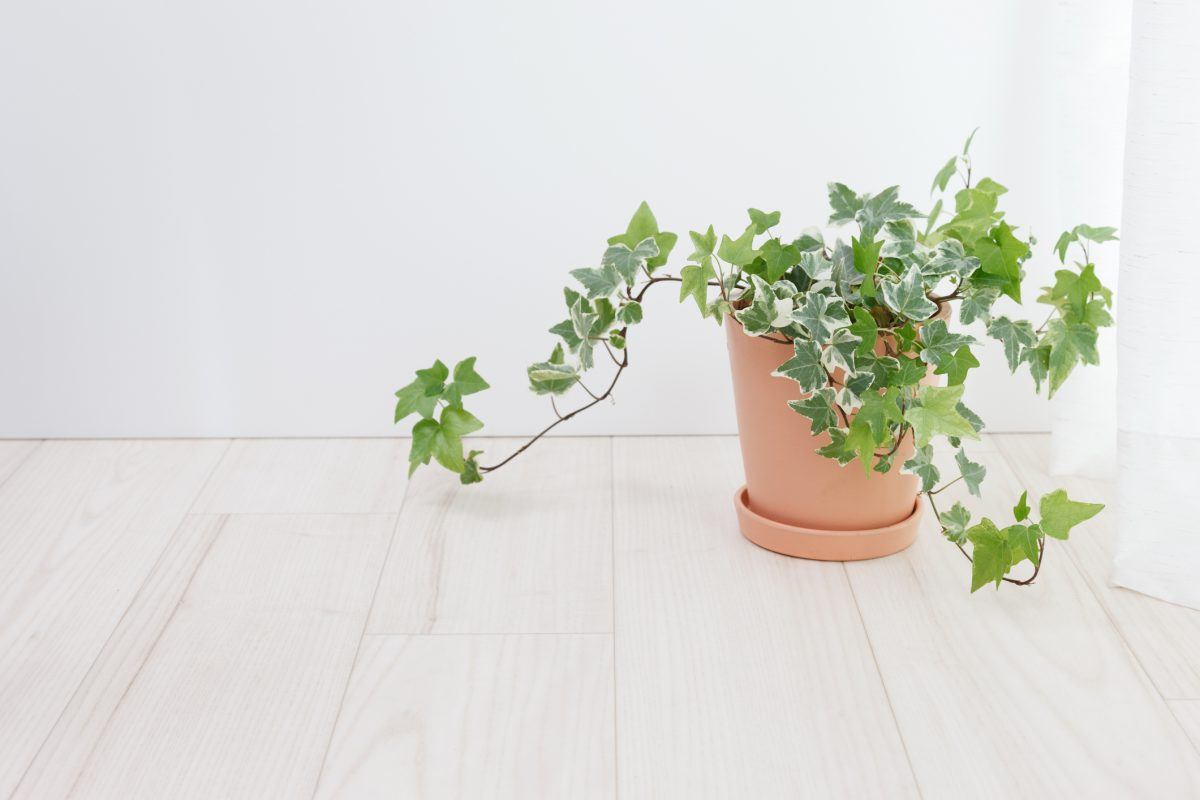 English ivy air purifying plants