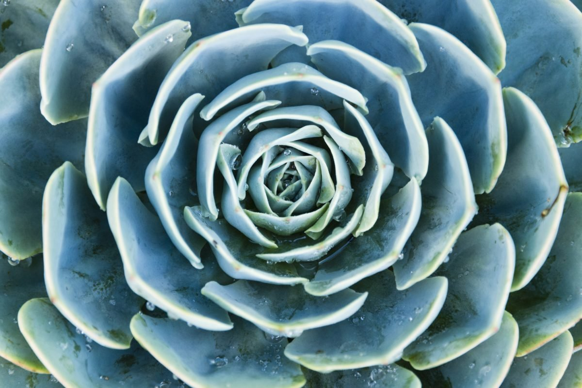 Non-Toxic Blue Echeveria