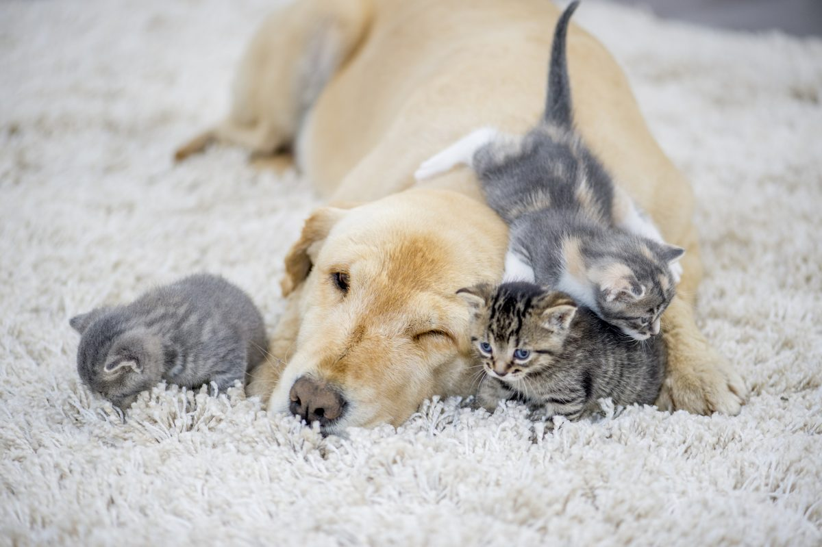 A golden retriever and three kittens