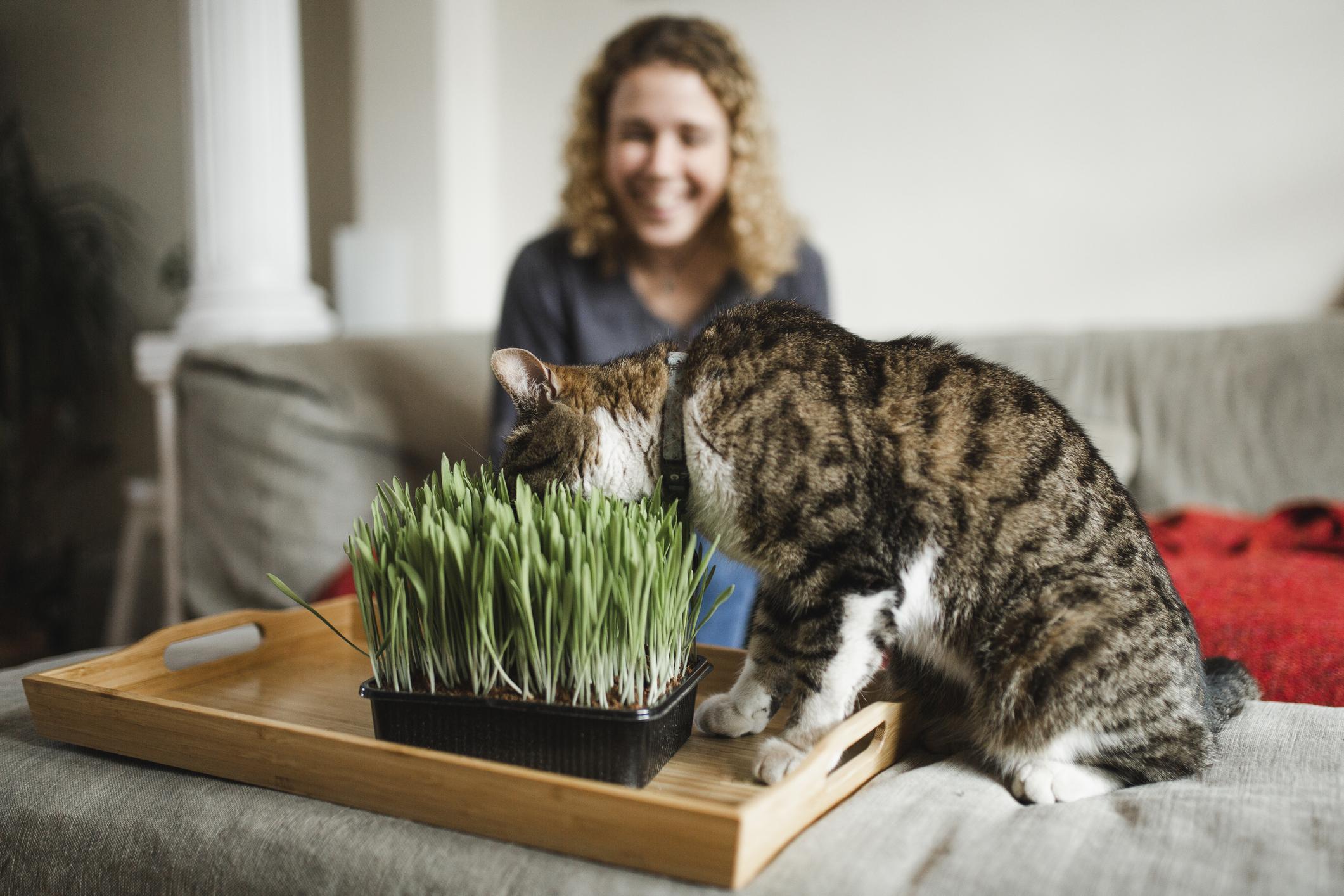 Cat is eating fresh green grass