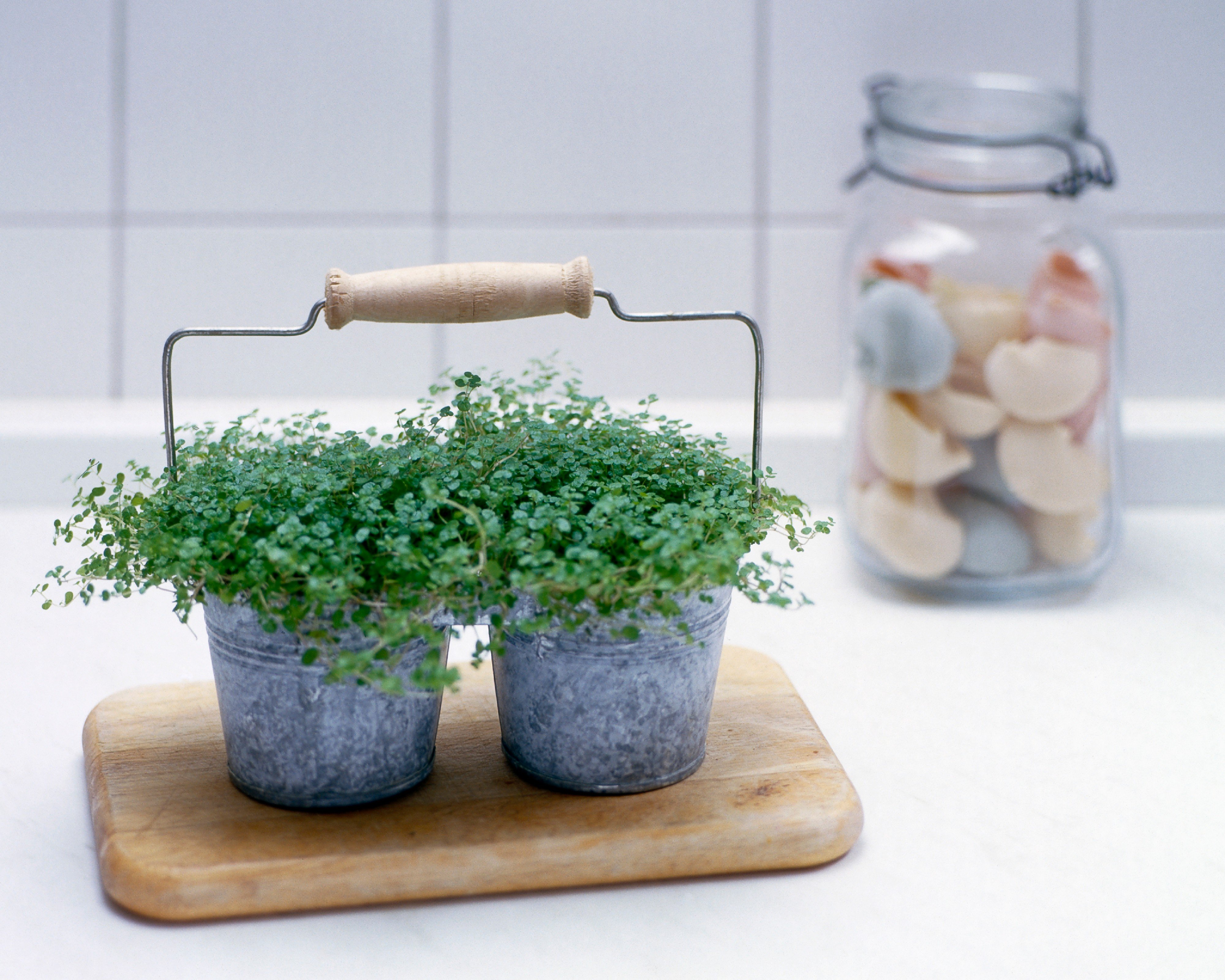 Irish-moss in an informal kitchen setting