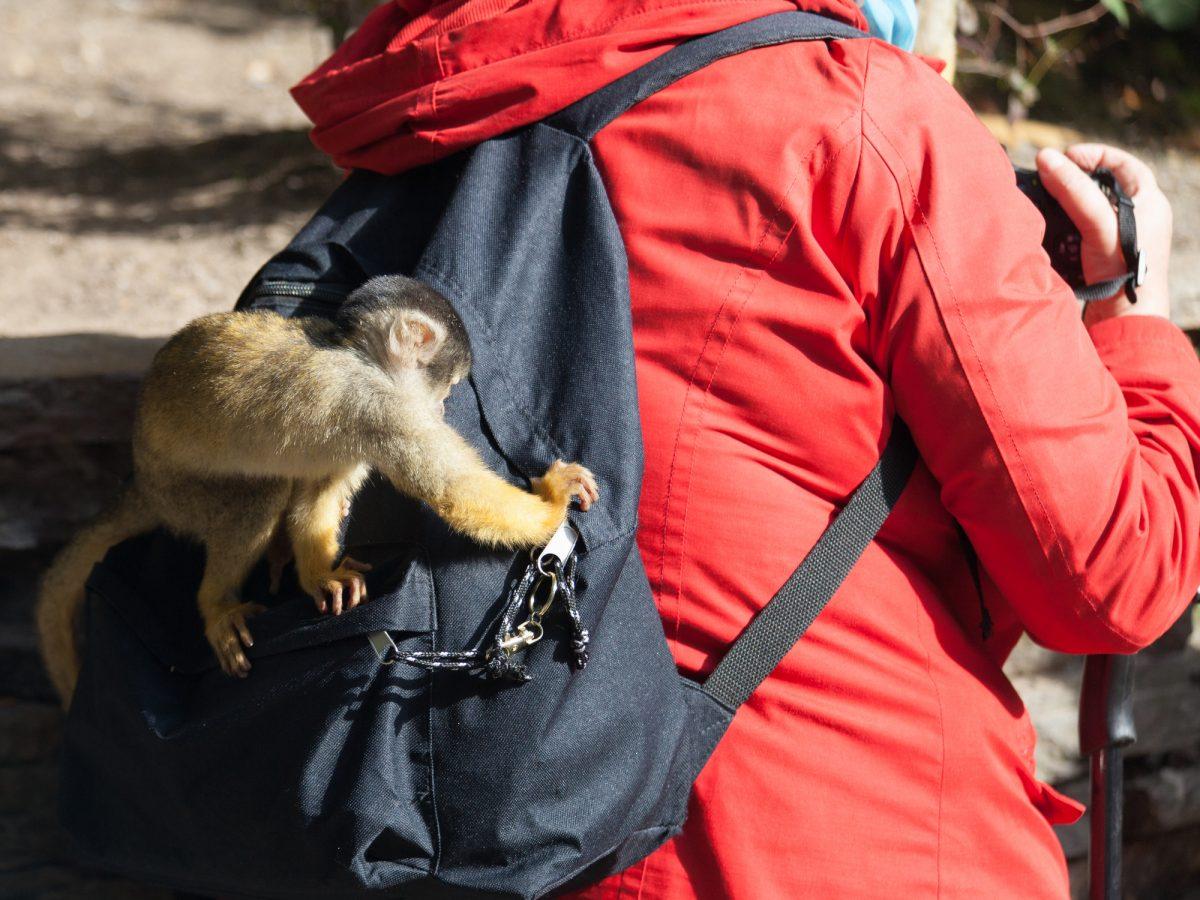 Mischievous monkey sneaky monkey