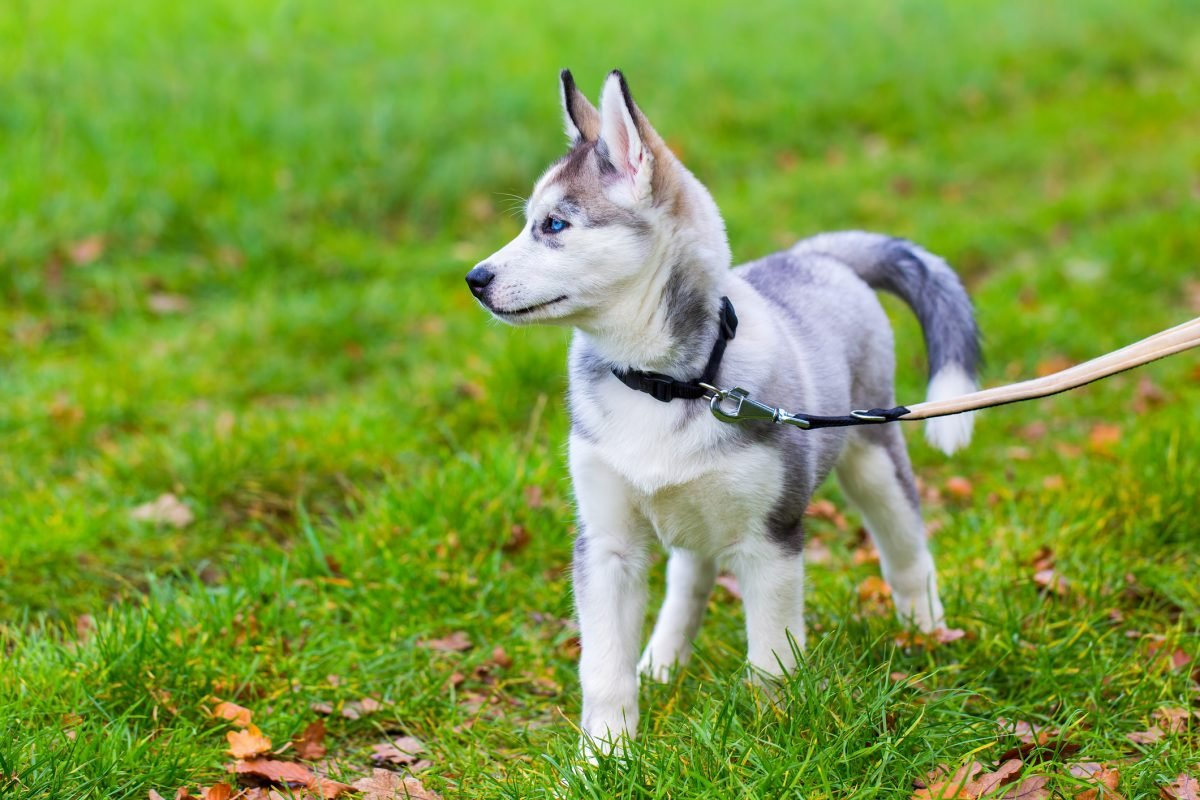 A husky puppy being walked on a leash outside