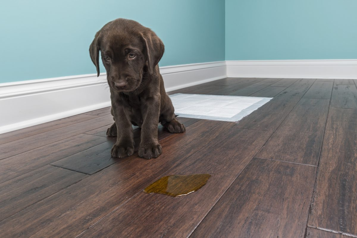 A chocolate lab near a urine accident on the floor